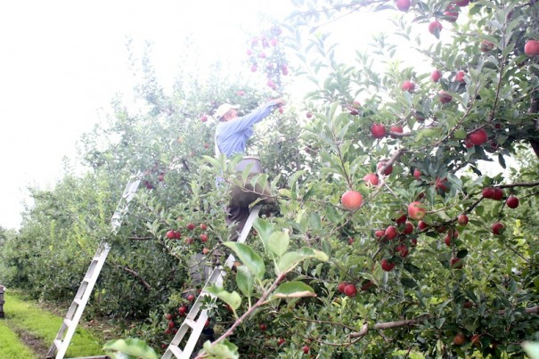 A farmworker picks Gala apples on Aug. 19 at an orchard in Dana.