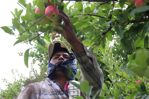 An farm worker picks apples at an orchard in Dana.