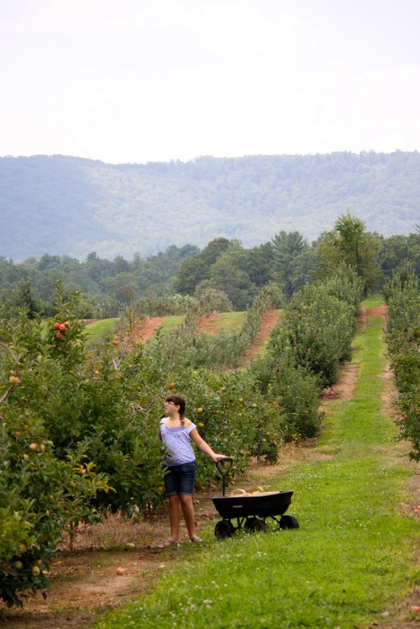 Katie Thomas, of Augusta, Ga., picks apples at the Justus Orchard on Garren Road in Fruitland.