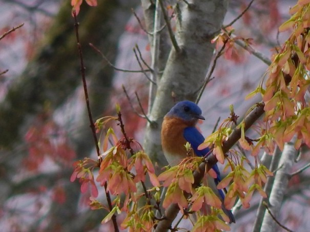 A bluebird photographed by Amy Cecelia LoPresti Owens was one of the entries in the 2020 Habitat at Home contest.