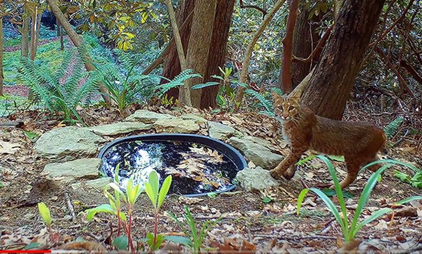 A bobcat checks out watering hole in the woods in Haywood Knolls.