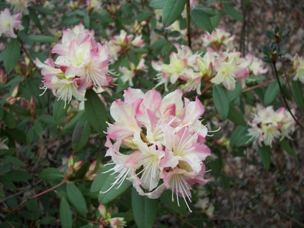 Grower Ray Head will speak about lesser-known variety lepidote rhododendron. which has minute scales on the leaves and smaller leaves.