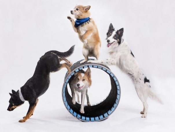 Dogs star in Mutts Gone Nuts Canine Cabaret at the Flat Rock Playhouse on Saturday, Feb. 11