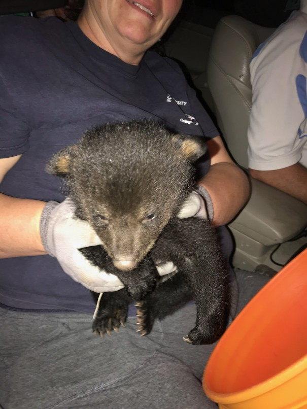 Dr. Beverly Hargus holds a bear cub that was found Sunday at Lake Summit. [PHOTO COURTESY OF MARVIN OWINGS JR.]