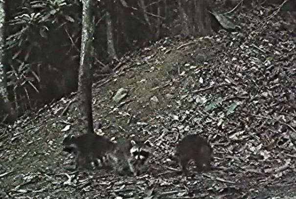 Thomas Brass's Haywood Knolls nature cam got a high-res video of a mother raccoon rescuing babies from another's litter.