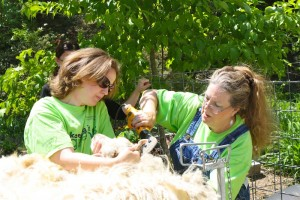 Mother-daughter team of Paula Ashworth and Shannon Tinkersley sheared the sheep.