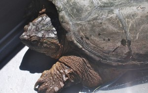A 20-pound snapping turtle moved to the country.